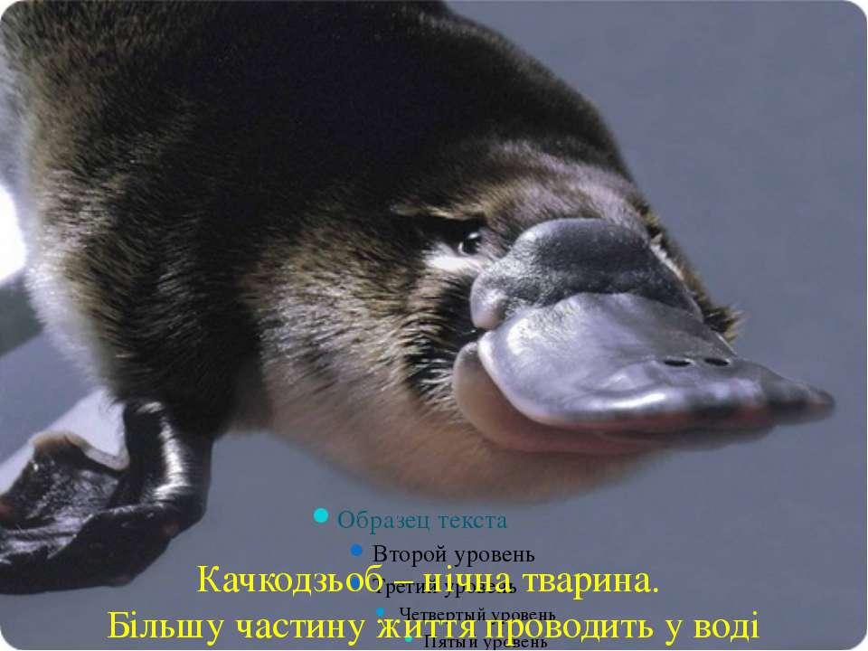 Качкодзьоб – нічна тварина. Більшу частину життя проводить у воді
