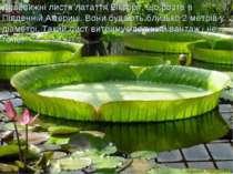 Дивовижні листя латаття Вікторії, що росте в Південній Америці.Вони бувають ...