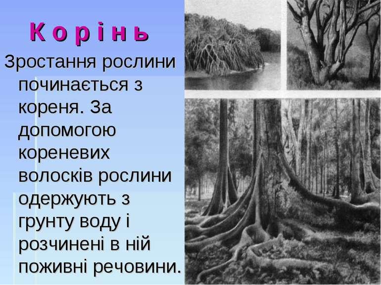 К о р і н ь Зростання рослини починається з кореня.За допомогою кореневих во...