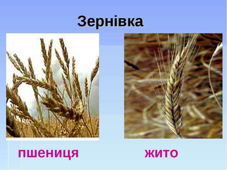 Зернівка пшениця жито