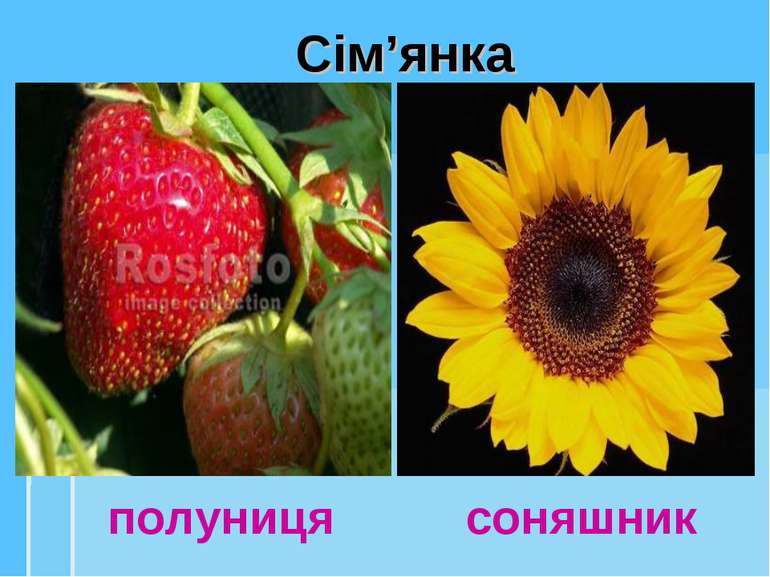 Сім'янка полуниця соняшник