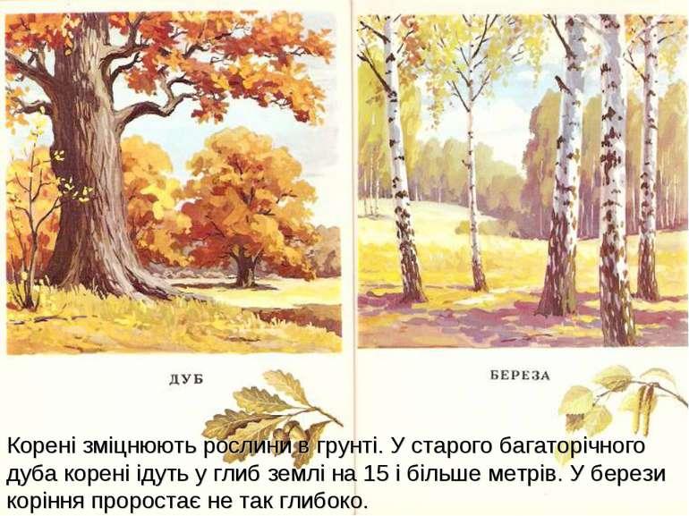 Корені зміцнюють рослини в грунті.У старого багаторічного дуба корені ідуть ...