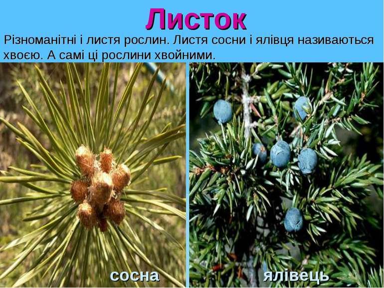 Листок сосна ялівець Різноманітні і листя рослин.Листя сосни і ялівця назива...