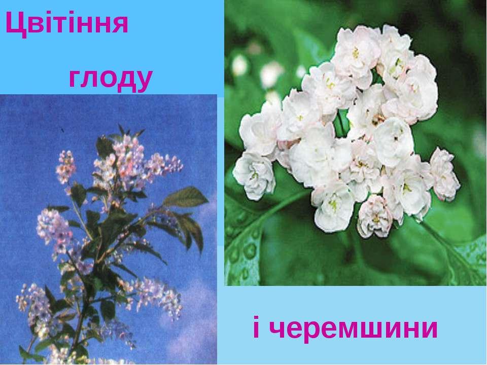 Цвітіння глоду і черемшини