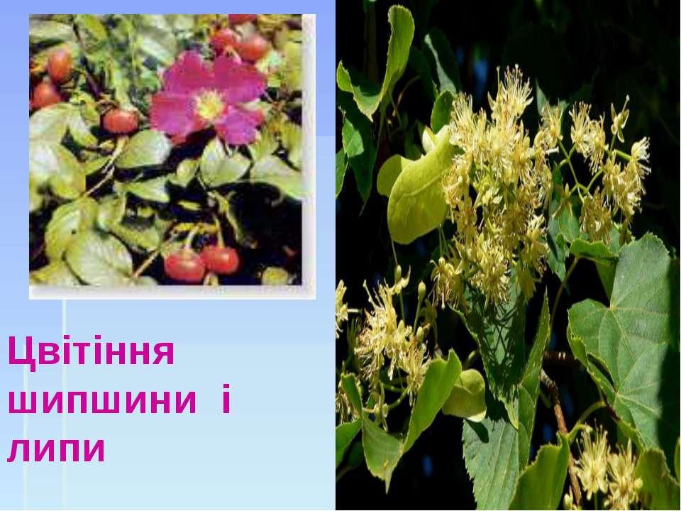 Цвітіння шипшини і липи