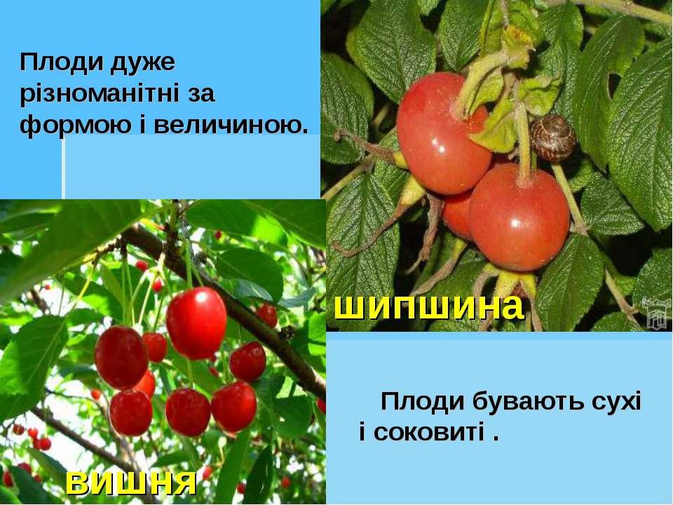Плоди дуже різноманітні за формою і величиною. Плоди бувають сухі і соковиті ...