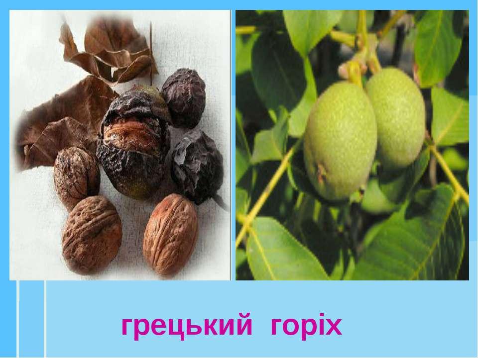 грецький горіх