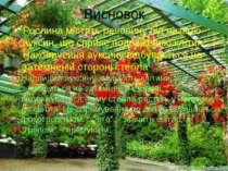 Висновок Рослина містить речовину під назвою ауксин, що сприяє подовженню клі...