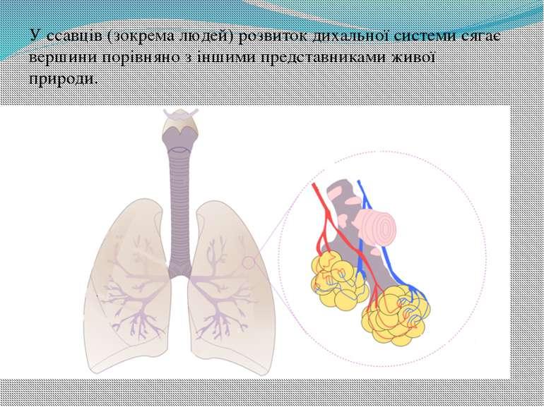 У ссавців (зокрема людей) розвиток дихальної системи сягає вершини порівняно ...
