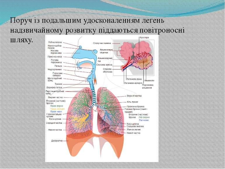 Поруч із подальшим удосконаленням легень надзвичайному розвитку піддаються по...