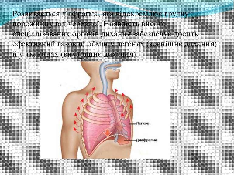 Розвивається діафрагма, яка відокремлює грудну порожнину від черевної. Наявні...