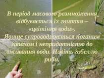 В період масового розмноження відбувається їх гниття – «цвітіння води». Явище...