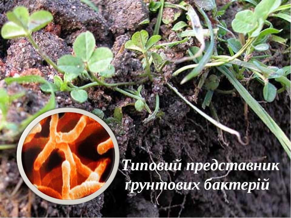 Типовий представник ґрунтових бактерій