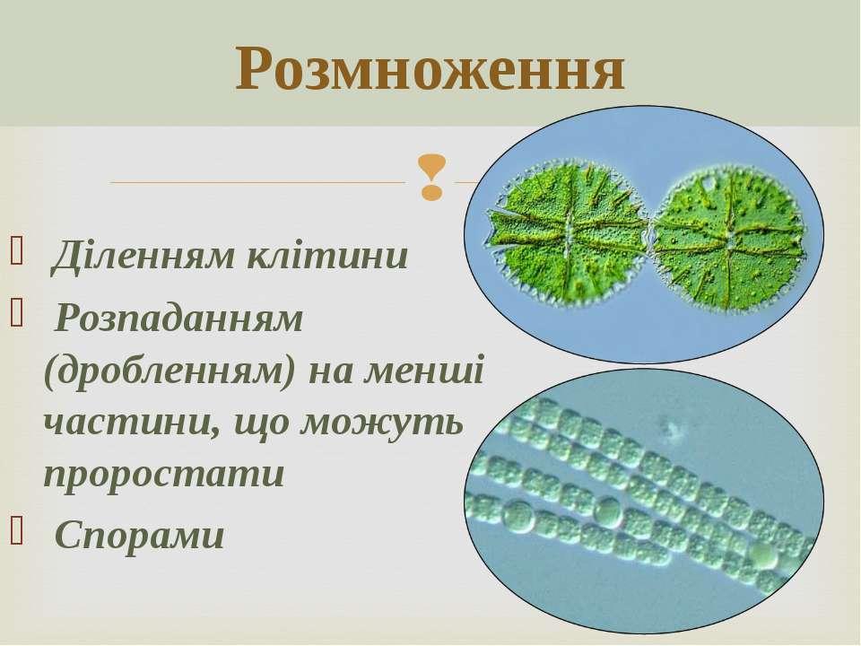Розмноження Діленням клітини Розпаданням (дробленням) на менші частини, що мо...
