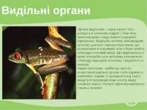 Видільні органи Органи виділення - парні округлі тіла - укладені в спинному в...