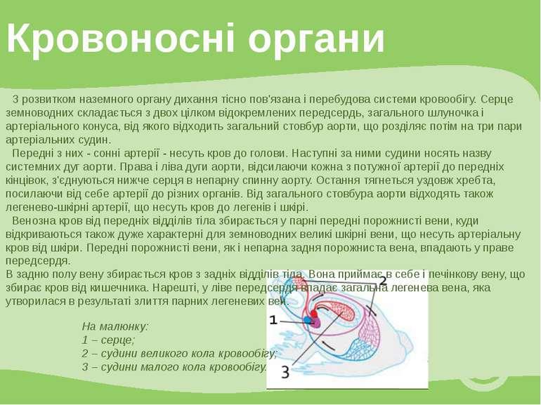 Кровоносні органи З розвитком наземного органу дихання тісно пов'язана і пере...