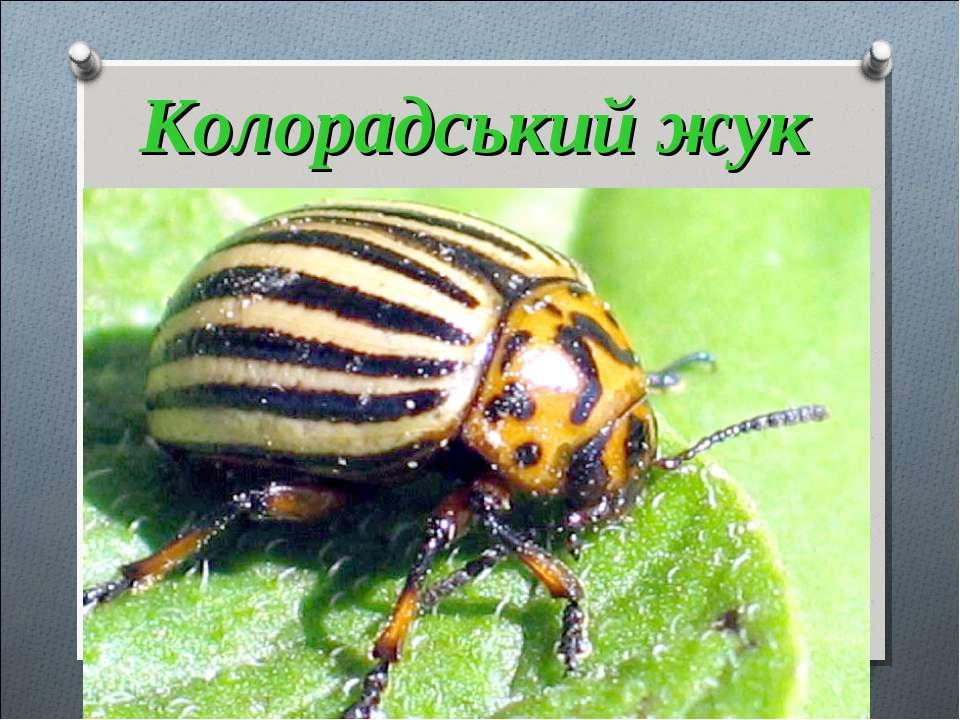 Колорадський жук Жовтий, смугастий ворог картоплі та помідорів.