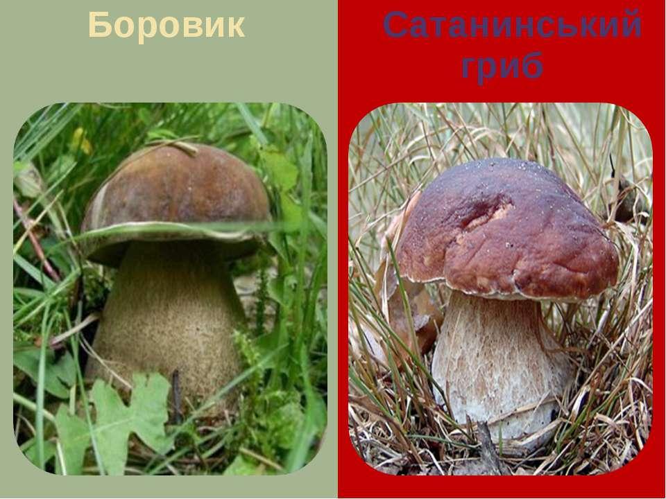 Боровик Сатанинський гриб