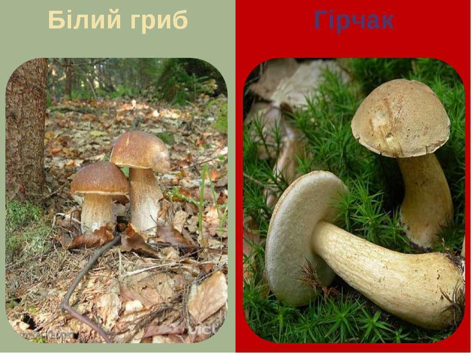 Білий гриб Гірчак