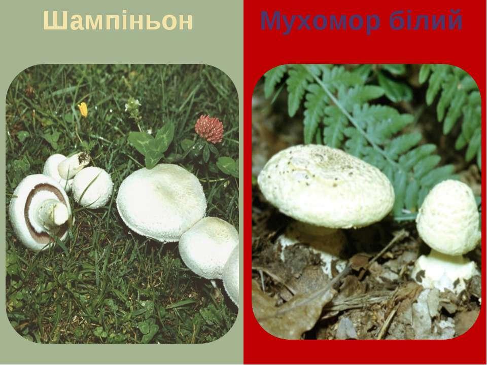 Шампіньон Мухомор білий