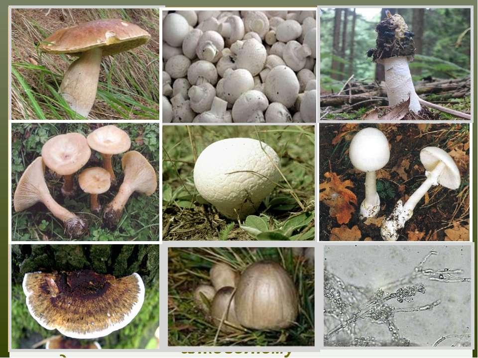 Білий гриб лікує стенокардію, обмороження, містить протипухлинні речовини Печ...