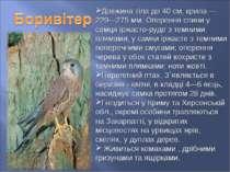 Довжина тіла до 40 см, крила — 229—275 мм. Оперення спини у самця іржасто-руд...