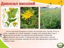Дивосил високий Дивосил високий поширений в лісовій і лісостеповій зонах Укра...