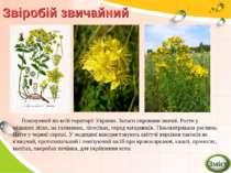 Звіробій звичайний Поширений по всій території України. Запаси сировини значн...