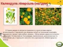 Календула лікарська (нагідки) В Україні дикорослі нагідки не трапляються, про...