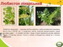 Любисток лікарський Любисток лікарський — трав'янистий багаторічник з добре р...