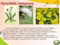 Кульбаба лікарська Кульбаба лікарська росте в зріджених мішаних і листяних лі...