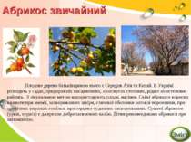 Абрикос звичайний Плодове дерево батьківщиною якого є Середня Азія та Китай. ...