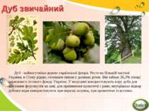 Дуб звичайний Дуб - наймогутніше дерево української флори. Росте на більшій ч...