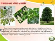 Каштан кінський Батьківщиною кінського каштану вважається підвенно-східна Євр...