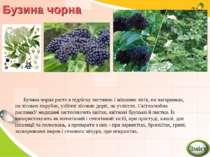 Бузина чорна Бузина чорна росте в підліску листяних і мішаних лісів, по чагар...