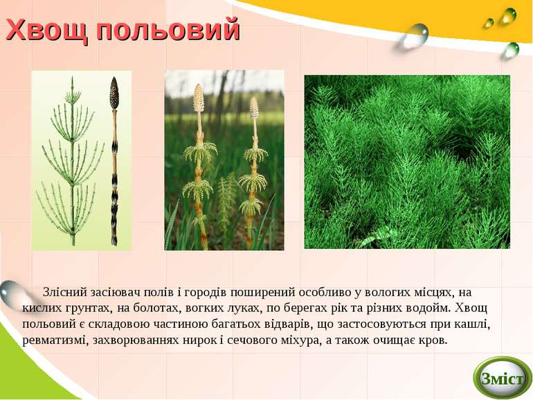Хвощ польовий Злісний засіювач полів і городів поширений особливо у вологих м...
