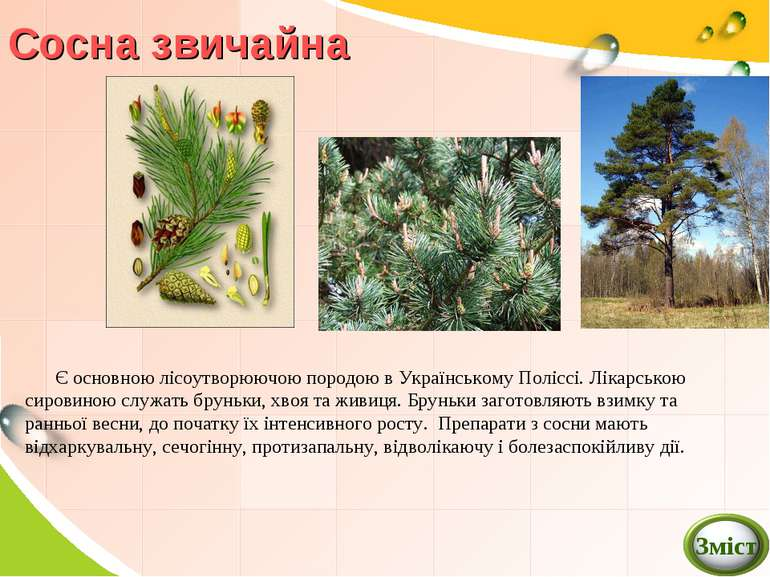 Сосна звичайна Є основною лісоутворюючою породою в Українському Поліссі. Ліка...