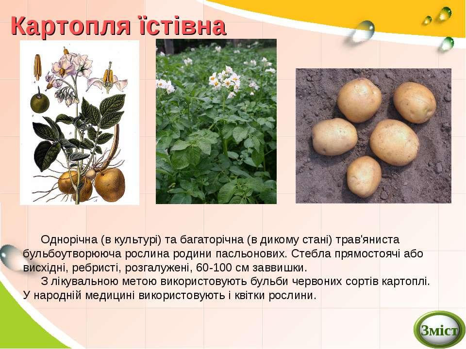 Картопля їстівна Однорічна (в культурі) та багаторічна (в дикому стані) трав'...