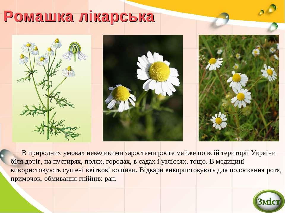 Ромашка лікарська В природних умовах невеликими заростями росте майже по всій...