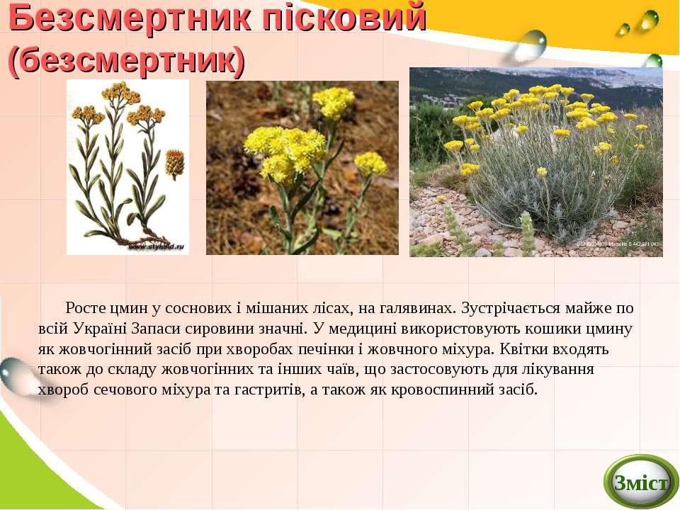 Безсмертник пісковий (безсмертник) Росте цмин у соснових і мішаних лісах, на ...