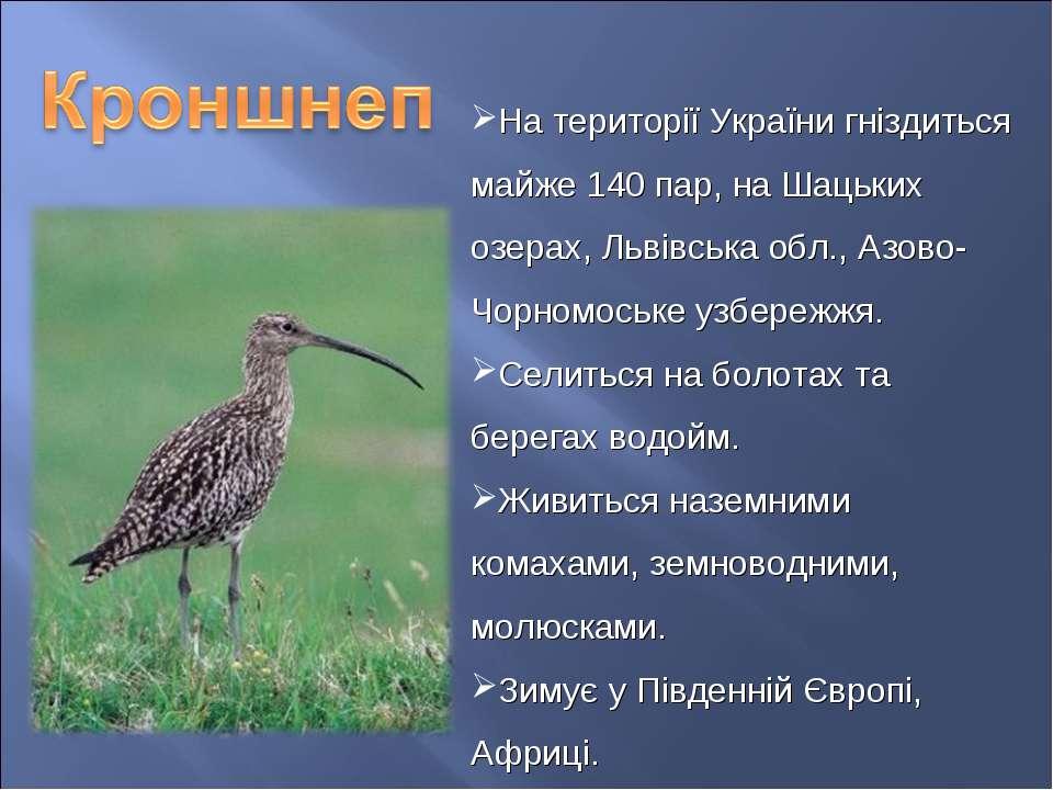 На території України гніздиться майже 140 пар, на Шацьких озерах, Львівська о...