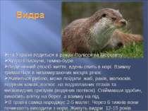 На Україні водиться в річках Полісся та Лісостепу. Хутро блискуче, темно-буре...