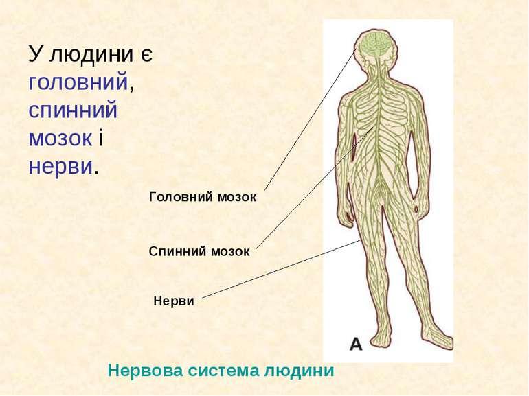 У людини є головний, спинний мозок і нерви. Головний мозок Спинний мозок Нерв...