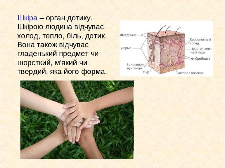 Шкіра – орган дотику. Шкірою людина відчуває холод, тепло, біль, дотик. Вона ...