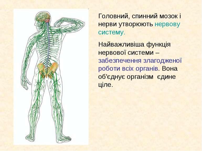 Головний, спинний мозок і нерви утворюють нервову систему. Найважливіша функц...