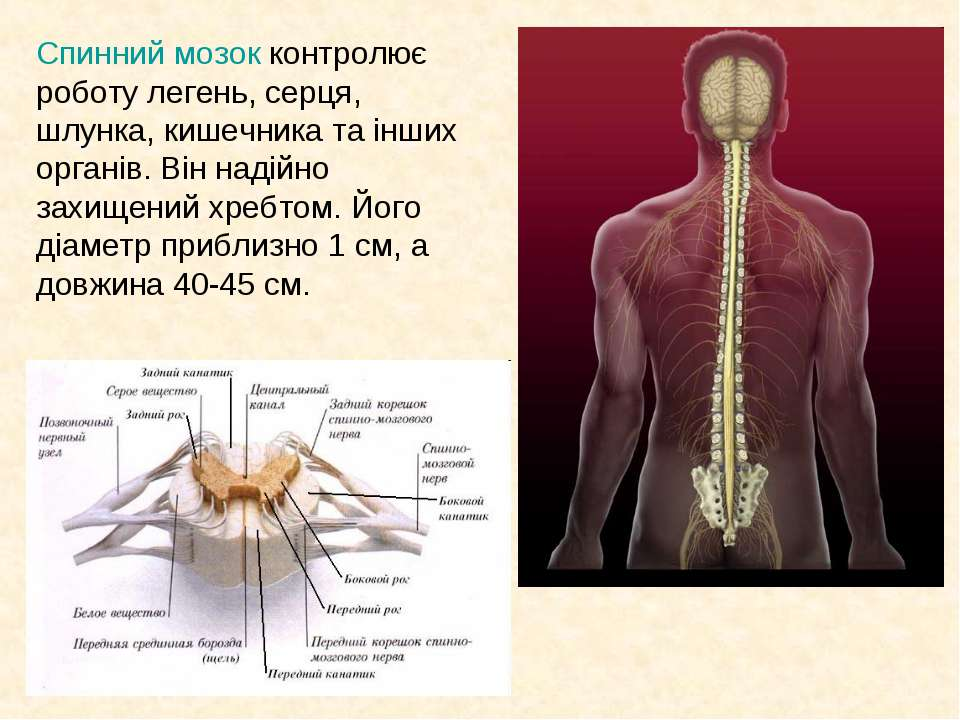 Спинний мозок контролює роботу легень, серця, шлунка, кишечника та інших орга...