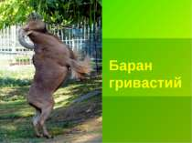 Баран гривастий