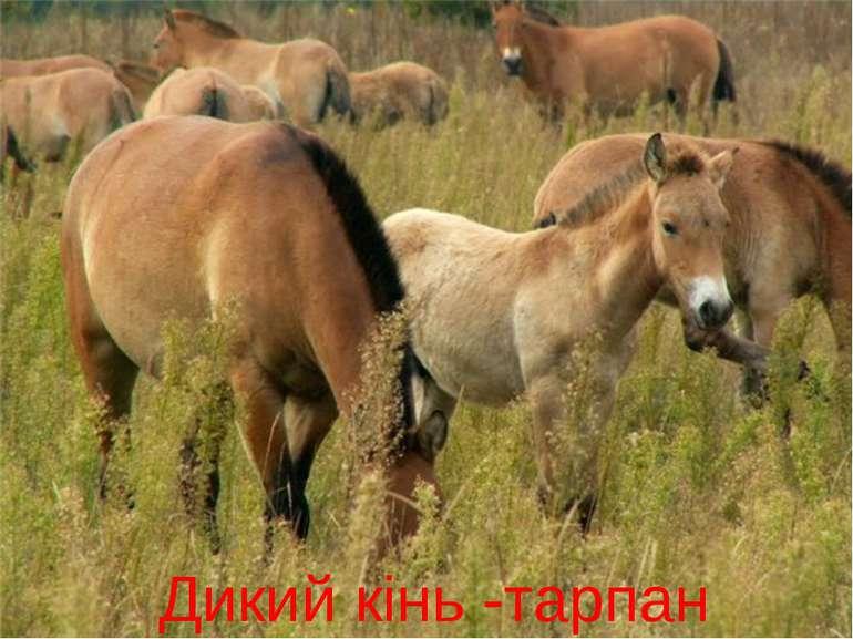 Дикий кінь -тарпан