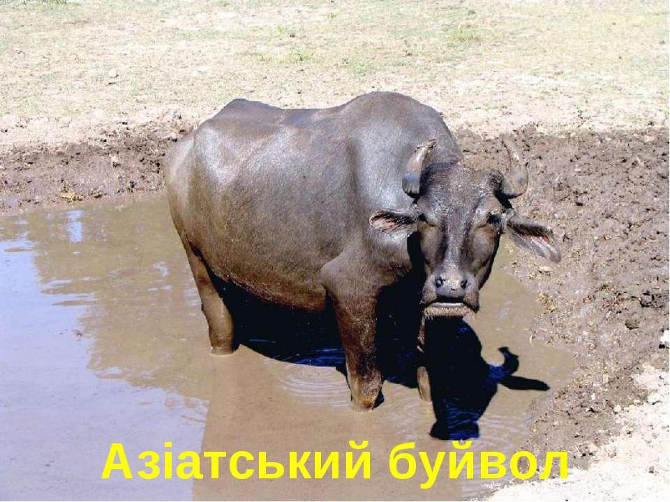 Азіатський буйвол