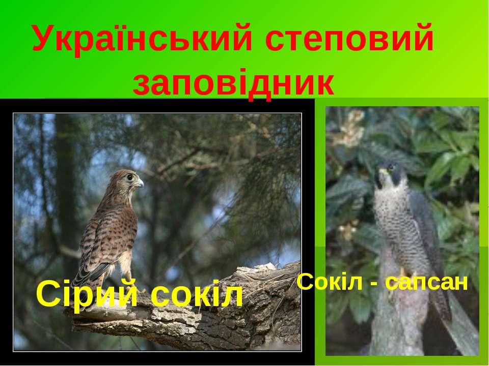 Український степовий заповідник Сірий сокіл Сокіл - сапсан